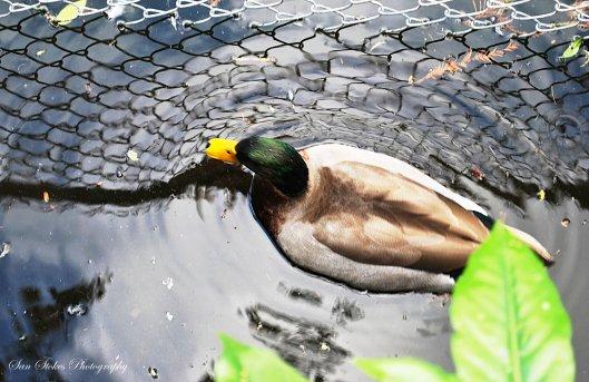 c3d duck