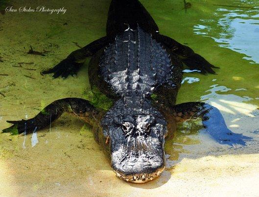 calligator smile