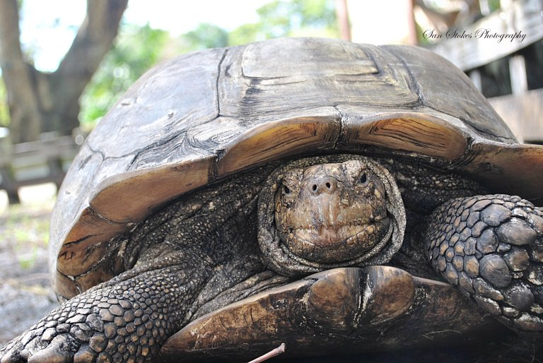 cbig turtles