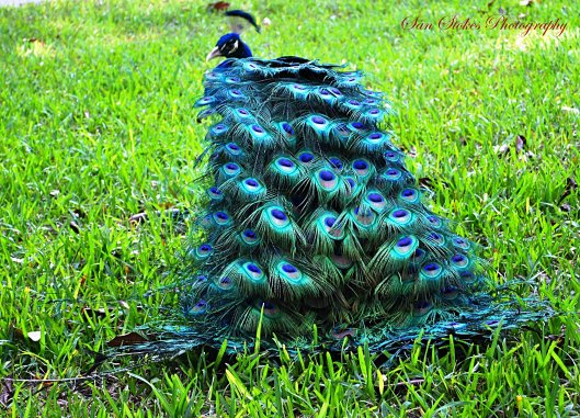 cclassy peacock