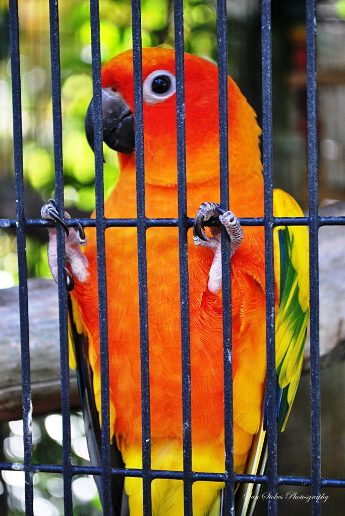 corangelicious bird