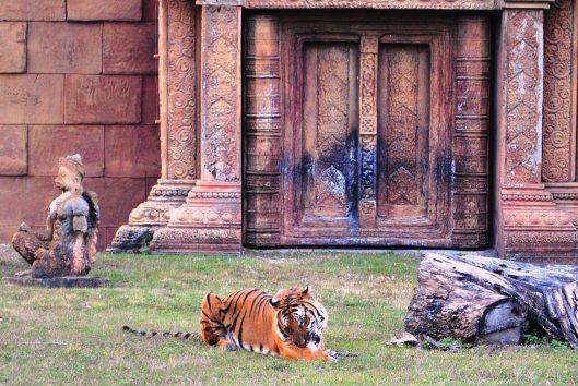 tiger mealtime
